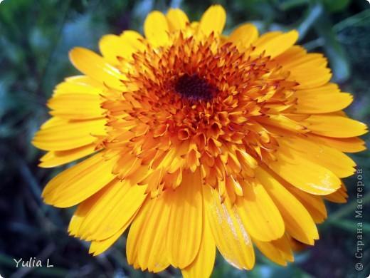 Вот и подошел к завершению дачный сезон и цикл фоторепортажей из Сибири. Это последние цветы, которые уже померкли от беспощадных заморозков. Остается лишь любоваться яркими фото. Благодарна всем, кто заглядывал в гости на протяжении лета и любовался вместе со мной замечательными творениями матушки-природы. А самый первый репортаж здесь http://stranamasterov.ru/node/85441 Гелениум осенний. фото 25