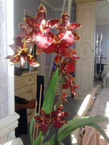 У меня расцвела орхидея! Год стояла без цветов, я её уже отдать в хорошие руки хотела, а она как почувствовала! фото 1