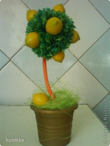 Это мое самое маленькое деревце - лимонное. фото 1