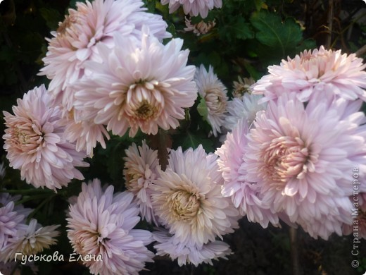 А у вас есть такие цветы в саду? А у меня их много. фото 18