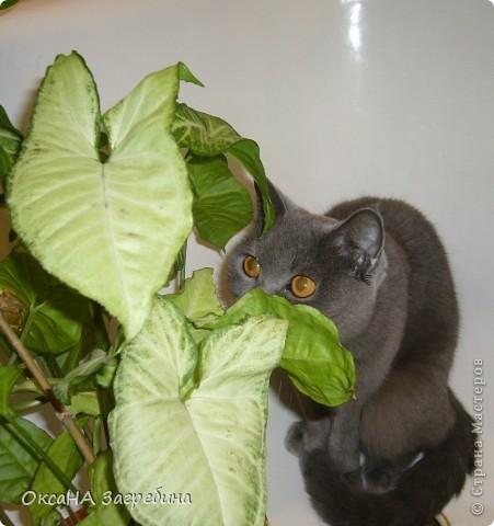 Мы уже знакомили Вас с нашей Дымкой: http://stranamasterov.ru/node/43388 Но она тут снова нас порадовала своими кошачьими манерами, а мы хотим поделиться этой радостью с Вами. :) Вот здесь она облюбовала осенний венок из искуственных листьев. Правда, у нее отличный эстетический вкус?! :)) фото 8