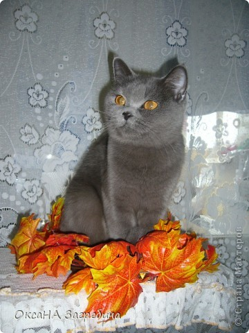 Мы уже знакомили Вас с нашей Дымкой: http://stranamasterov.ru/node/43388 Но она тут снова нас порадовала своими кошачьими манерами, а мы хотим поделиться этой радостью с Вами. :) Вот здесь она облюбовала осенний венок из искуственных листьев. Правда, у нее отличный эстетический вкус?! :)) фото 1