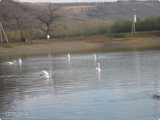 Каждый год эти царственные птицы выбирают Кубань для зимовки. Эти лебеди зимуют на реке Кубань и на нашем водохранилище. фото 3
