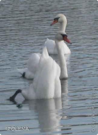 Каждый год эти царственные птицы выбирают Кубань для зимовки. Эти лебеди зимуют на реке Кубань и на нашем водохранилище. фото 6