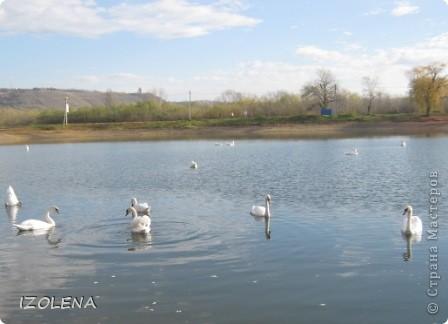 Каждый год эти царственные птицы выбирают Кубань для зимовки. Эти лебеди зимуют на реке Кубань и на нашем водохранилище. фото 1