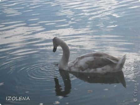 Каждый год эти царственные птицы выбирают Кубань для зимовки. Эти лебеди зимуют на реке Кубань и на нашем водохранилище. фото 10