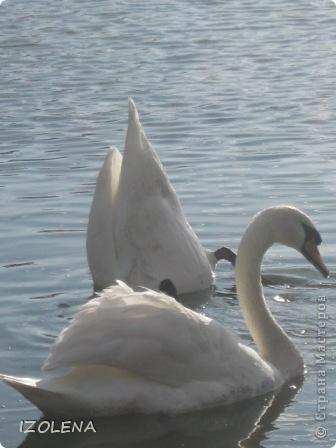 Каждый год эти царственные птицы выбирают Кубань для зимовки. Эти лебеди зимуют на реке Кубань и на нашем водохранилище. фото 7