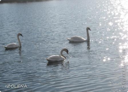Каждый год эти царственные птицы выбирают Кубань для зимовки. Эти лебеди зимуют на реке Кубань и на нашем водохранилище. фото 8