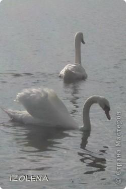 Каждый год эти царственные птицы выбирают Кубань для зимовки. Эти лебеди зимуют на реке Кубань и на нашем водохранилище. фото 5