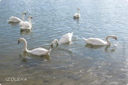 Каждый год эти царственные птицы выбирают Кубань для зимовки. Эти лебеди зимуют на реке Кубань и на нашем водохранилище. фото 2