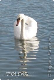 Каждый год эти царственные птицы выбирают Кубань для зимовки. Эти лебеди зимуют на реке Кубань и на нашем водохранилище. фото 4