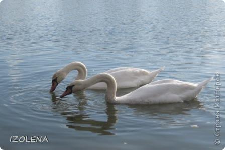 Каждый год эти царственные птицы выбирают Кубань для зимовки. Эти лебеди зимуют на реке Кубань и на нашем водохранилище. фото 9