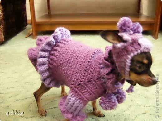 Попробовала связать одежду  собакам .Вот что получилось. Это тойтерьер моей кумы. фото 1