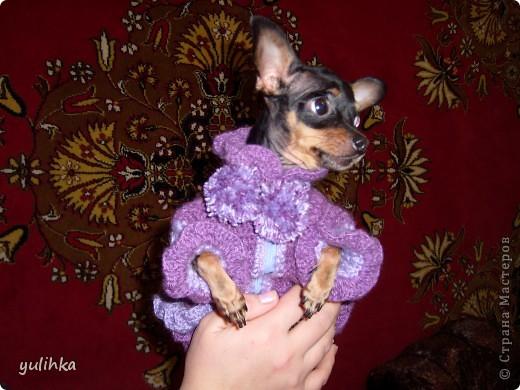 Попробовала связать одежду  собакам .Вот что получилось. Это тойтерьер моей кумы. фото 2