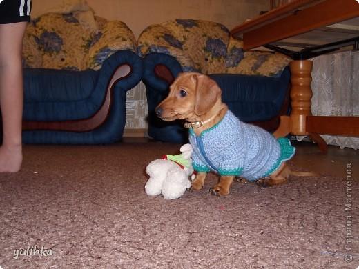 Попробовала связать одежду  собакам .Вот что получилось. Это тойтерьер моей кумы. фото 7