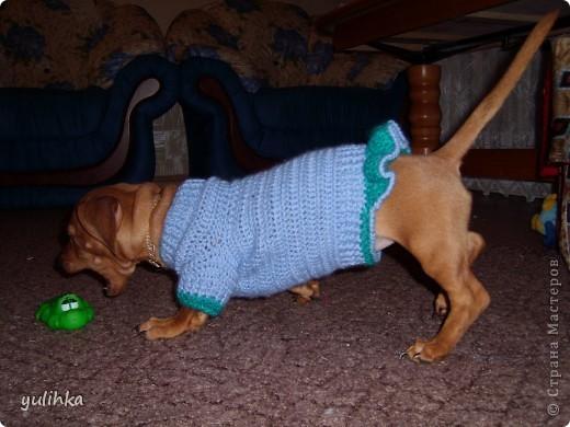 Попробовала связать одежду  собакам .Вот что получилось. Это тойтерьер моей кумы. фото 5