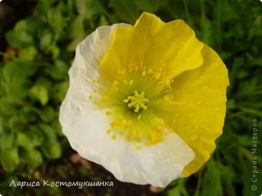 Вот такое чудо выросло у  меня в этом году. Это не единственный цветок, а куст такой!