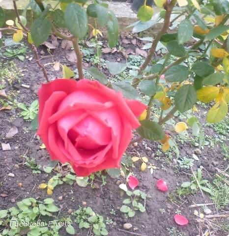 В декабре расцвели колокольчики-они цветут у нас летом. 11.12.2010 г фото 2