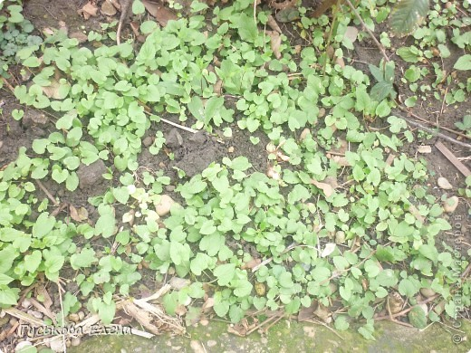 В декабре расцвели колокольчики-они цветут у нас летом. 11.12.2010 г фото 5