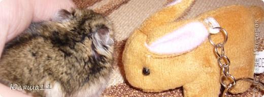 Я Даша.Джунгарский хомячок. фото 2