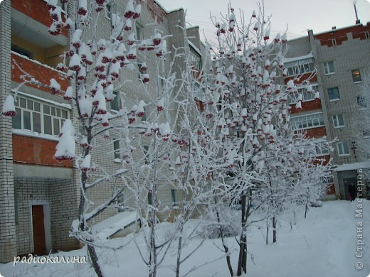 Утром мы с внучкой пошли в садик и опоздали - любовались на красавицу-зиму, которая пришла ночью и украсила все кругом. Нежный рассвет и снег . фото 3