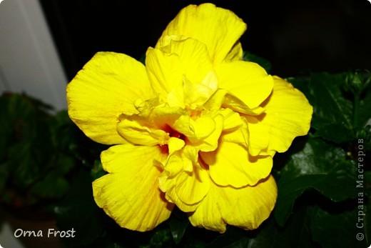 """Любите ли Вы цветы так, как их люблю я? Помните строки из фильма:""""Почему люди не летают, как птицы?"""". Вот и я хочу спросить:""""Почему люди не ценят красоту вокруг нас?"""" Хочу представить Вам моих любимцев. Знакомьтесь... Её величество РОЗА фото 9"""