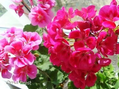 """Любите ли Вы цветы так, как их люблю я? Помните строки из фильма:""""Почему люди не летают, как птицы?"""". Вот и я хочу спросить:""""Почему люди не ценят красоту вокруг нас?"""" Хочу представить Вам моих любимцев. Знакомьтесь... Её величество РОЗА фото 10"""