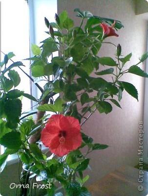 """Любите ли Вы цветы так, как их люблю я? Помните строки из фильма:""""Почему люди не летают, как птицы?"""". Вот и я хочу спросить:""""Почему люди не ценят красоту вокруг нас?"""" Хочу представить Вам моих любимцев. Знакомьтесь... Её величество РОЗА фото 8"""