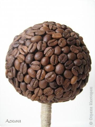 Наконец-то появилось на свет и мое кофейное деревце! Высота дерева 28 см, диаметр кроны 10 см. фото 3