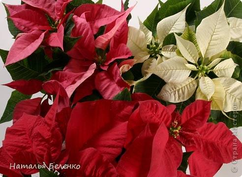 """Пуансеттия стала одним из символов Рождества благодаря своим пламенеющим прицветникам. Она своим цветением приносит в дом первые радостные признаки приближающегося Нового года. Её еще называют """"вифлеемской звездой""""или """"рождественской звездой"""". Представляю вашему вниманию очередную работу в технике торцевание, на этот раз это венок из пуансеттии.  фото 8"""