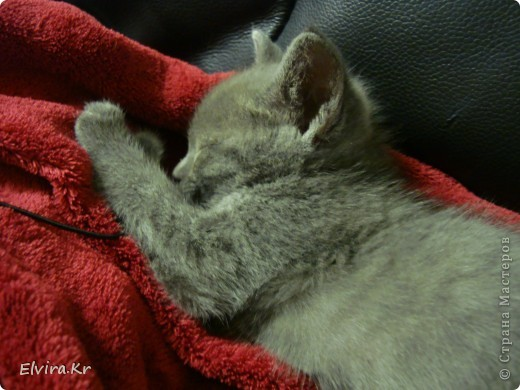 вот такого котёночка мне подарили на день рождения, её зовут Роксана, Рокси, Роксюля, Роксилидзе, Роксичка =)  фото 2