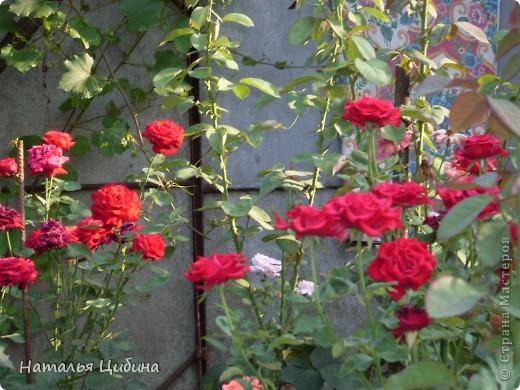 Вот такие красавицы растут у меня летом на участке. фото 4