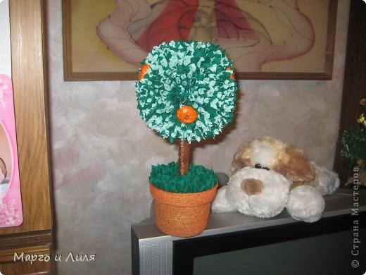 Апельсиновое дерево фото 2