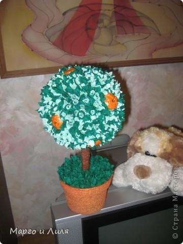 Апельсиновое дерево фото 3