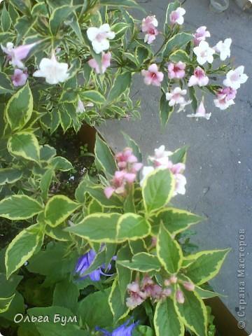 Простите, если не по теме выкладываю или не там. Но сегодня  увидела Клематисы у СИПОЛИК и так захотелось цветов!!! решилась, наконец, выложить аватар, хотя не люблю себя на фото, но я там сбочка от прекрасного куста клематиса!!! Это мои любимые цветы и все они растут ... около моего подъезда(!), так как дачи нет. А душа просит! Вот сажаю где могу уже 7 лет. Сейчас эти фото согревают душу и вдохновляют на творчество. фото 5
