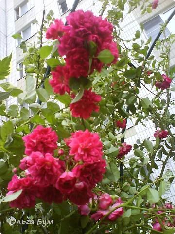 Простите, если не по теме выкладываю или не там. Но сегодня  увидела Клематисы у СИПОЛИК и так захотелось цветов!!! решилась, наконец, выложить аватар, хотя не люблю себя на фото, но я там сбочка от прекрасного куста клематиса!!! Это мои любимые цветы и все они растут ... около моего подъезда(!), так как дачи нет. А душа просит! Вот сажаю где могу уже 7 лет. Сейчас эти фото согревают душу и вдохновляют на творчество. фото 20