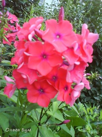 Простите, если не по теме выкладываю или не там. Но сегодня  увидела Клематисы у СИПОЛИК и так захотелось цветов!!! решилась, наконец, выложить аватар, хотя не люблю себя на фото, но я там сбочка от прекрасного куста клематиса!!! Это мои любимые цветы и все они растут ... около моего подъезда(!), так как дачи нет. А душа просит! Вот сажаю где могу уже 7 лет. Сейчас эти фото согревают душу и вдохновляют на творчество. фото 33