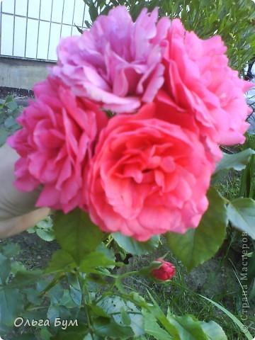 Простите, если не по теме выкладываю или не там. Но сегодня  увидела Клематисы у СИПОЛИК и так захотелось цветов!!! решилась, наконец, выложить аватар, хотя не люблю себя на фото, но я там сбочка от прекрасного куста клематиса!!! Это мои любимые цветы и все они растут ... около моего подъезда(!), так как дачи нет. А душа просит! Вот сажаю где могу уже 7 лет. Сейчас эти фото согревают душу и вдохновляют на творчество. фото 23