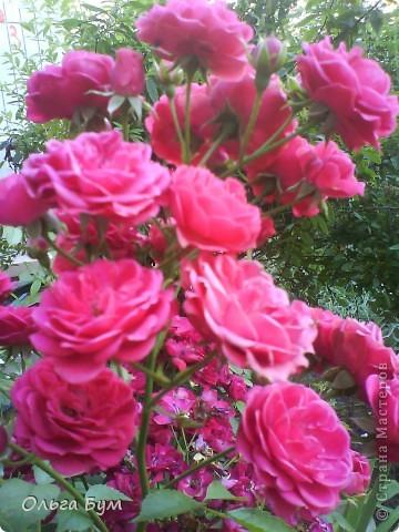 Простите, если не по теме выкладываю или не там. Но сегодня  увидела Клематисы у СИПОЛИК и так захотелось цветов!!! решилась, наконец, выложить аватар, хотя не люблю себя на фото, но я там сбочка от прекрасного куста клематиса!!! Это мои любимые цветы и все они растут ... около моего подъезда(!), так как дачи нет. А душа просит! Вот сажаю где могу уже 7 лет. Сейчас эти фото согревают душу и вдохновляют на творчество. фото 27