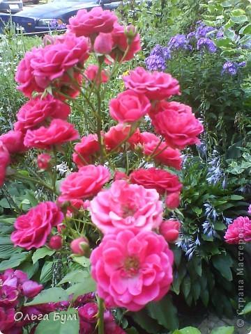 Простите, если не по теме выкладываю или не там. Но сегодня  увидела Клематисы у СИПОЛИК и так захотелось цветов!!! решилась, наконец, выложить аватар, хотя не люблю себя на фото, но я там сбочка от прекрасного куста клематиса!!! Это мои любимые цветы и все они растут ... около моего подъезда(!), так как дачи нет. А душа просит! Вот сажаю где могу уже 7 лет. Сейчас эти фото согревают душу и вдохновляют на творчество. фото 31