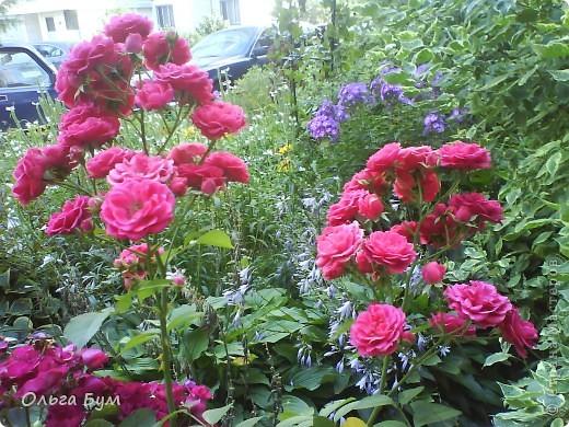 Простите, если не по теме выкладываю или не там. Но сегодня  увидела Клематисы у СИПОЛИК и так захотелось цветов!!! решилась, наконец, выложить аватар, хотя не люблю себя на фото, но я там сбочка от прекрасного куста клематиса!!! Это мои любимые цветы и все они растут ... около моего подъезда(!), так как дачи нет. А душа просит! Вот сажаю где могу уже 7 лет. Сейчас эти фото согревают душу и вдохновляют на творчество. фото 28