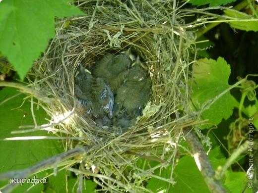 Вот такой красавчик, первый полёт из гнезда и потерялся.... фото 2