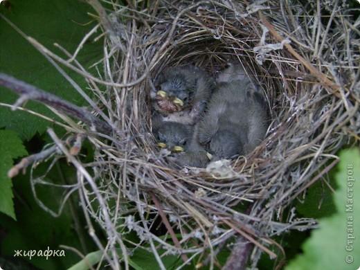 Вот такой красавчик, первый полёт из гнезда и потерялся.... фото 3