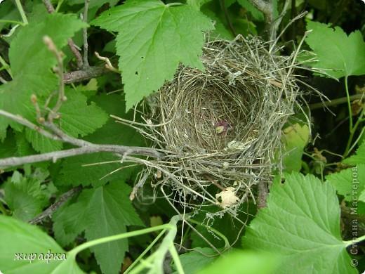 Вот такой красавчик, первый полёт из гнезда и потерялся.... фото 4