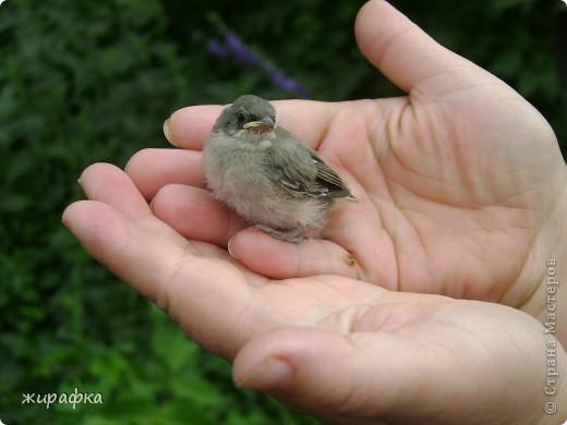Вот такой красавчик, первый полёт из гнезда и потерялся.... фото 5
