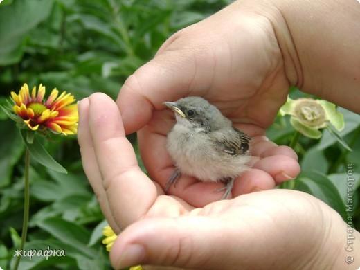 Вот такой красавчик, первый полёт из гнезда и потерялся.... фото 1