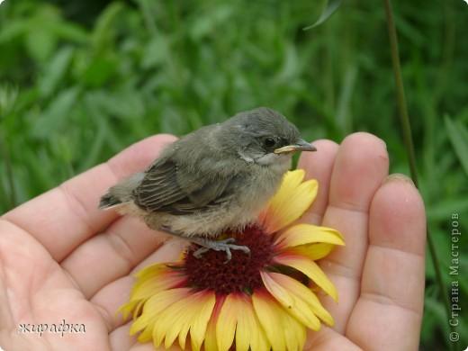 Вот такой красавчик, первый полёт из гнезда и потерялся.... фото 7