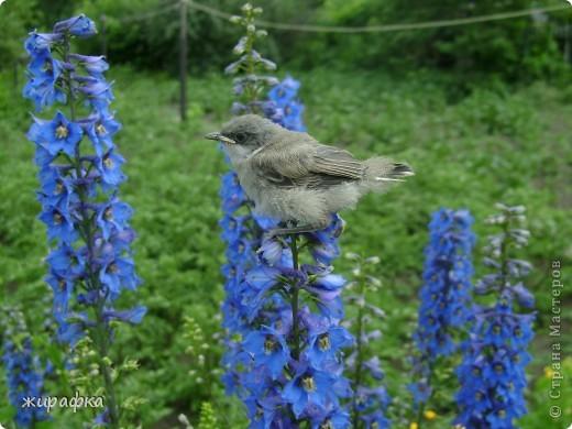 Вот такой красавчик, первый полёт из гнезда и потерялся.... фото 9