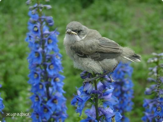 Вот такой красавчик, первый полёт из гнезда и потерялся.... фото 10