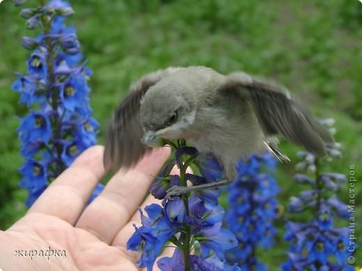 Вот такой красавчик, первый полёт из гнезда и потерялся.... фото 12
